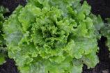batavia-salade-verte